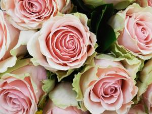 Pink Roses.jpeg
